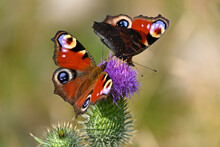Beautiful Red Butterflies On A Pink Flowering Thistle Against A Soft Bokeh Background. Aglais Io, Peacock Butterfly.