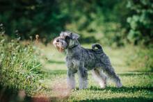 Standart Schnauzer Posing Outside. Purebred Dog Posing.