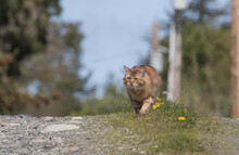 Clsoeup Shot Of Manx Cat In Th...