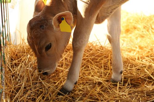 Fototapeta Pretty little calf eating hay on farm. Animal husbandry obraz