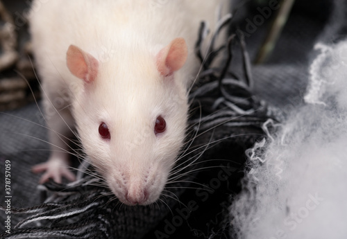 Photo Cute pet rat