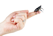 Hand Hold Female Stag Beetle, ...