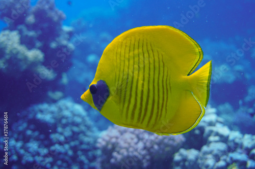 Fototapety, obrazy: Beautiful Butterfly Fish Swimming In The Red Sea In Egypt. Blue Water, Hurghada, Sharm El Sheikh,Animal, Scuba Diving, Ocean, Under The Sea, Underwater Photography, Snorkeling, Tropical Paradise.