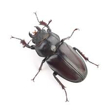 Female Of Stag Beetle (Lucanus...