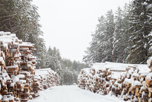 Winter Logging In The Snow Forest. Stock Of Timber Under The Snow