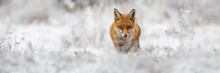 Red Fox, Vulpes Vulpes, Going Forward On Meadow In Wintertime Nature. Wild Orange Predator Licking Mouth On Snowy Field. Rough Beast Hunting In White Wilderness With Copy Space.