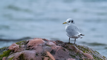 Young Kittiwake Standing On A Rock With The Ocean In The Background