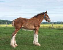 Foal Standing In The Field