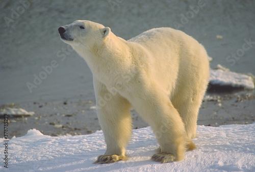Obraz na plátně Polar bear close up
