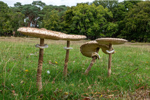 Four Toad Stools In A Meadow