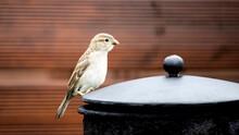 A Sparrow Sitting On A Chimney...