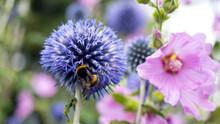 A Bumble Bee Collecting Pollen...