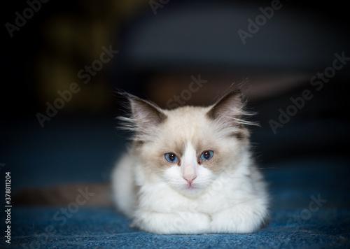 Fototapeta two month old Ragdoll kitten at home obraz