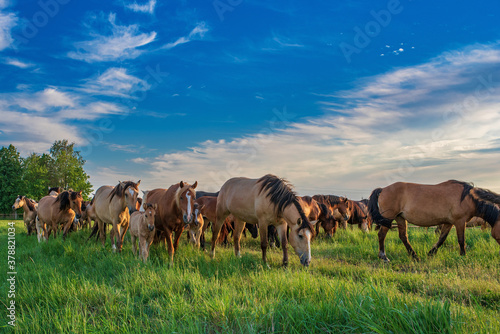 Obraz na plátně In the summer on a green field grazing herd of horses.
