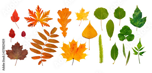 Fototapeta Different leaves in gradient autumn colors. Set of brown, red, gold, yellow, green leaves isolated on white. Creative composition obraz