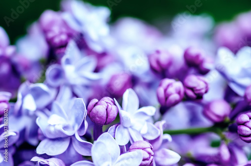 Fototapeta Lilac flowers macro