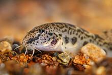 Golden Spined Loach - Sabaneje...