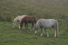 Wild Welsh Mountain Ponies In Brecon Beacon National Park