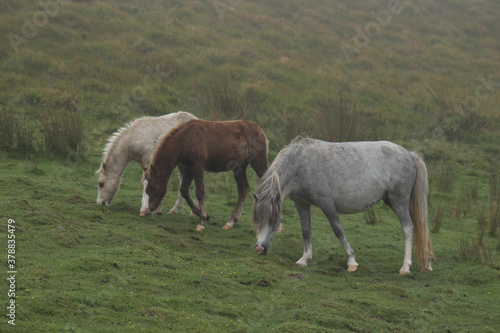 Slika na platnu Wild Welsh Mountain Ponies in Brecon Beacon National Park