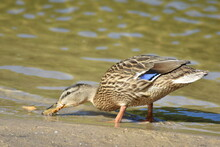 Duck Feeds On The River Bank