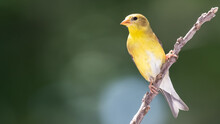 American Goldfinch Perched On A Slender Tree Branch
