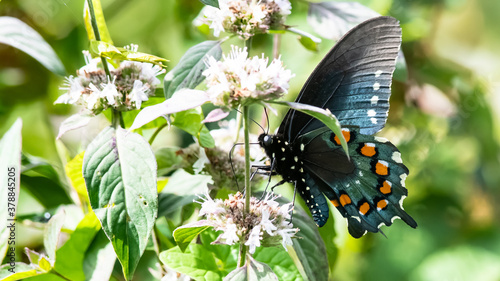 Spicebush Swallowtail Butterfly Sipping Nectar from the Accommodating Flower Wallpaper Mural