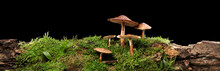 Panorama Of Several Brown Mushrooms On Wet And Humid Green Mossy Log. Isolated On Black.