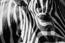 Zebra Head In Close-up