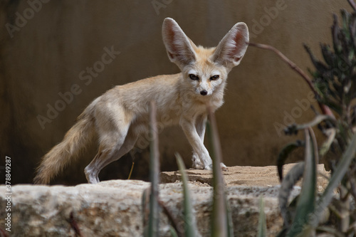 Photo Fennec walks on a stone as he looks towards the camera