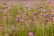 Czosnek kątowy Allium angulosum na zachodzącej łące