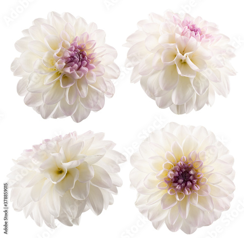 Fotomural collection of white dahlias isolated on a white background