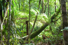 Tree Ferns And Kauri Trees In ...