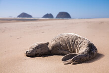 A Sea Lion Pup Rests On The Be...