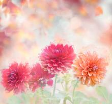 Dahlia Flowers Watercolor Illu...