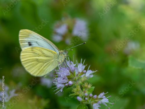 Fotografie, Obraz Papillon blanc sur fleur.