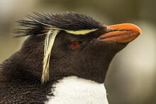 Rockhopper Penguin At The Falk...