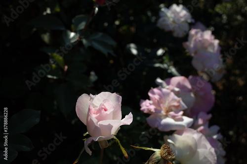 Pink and White Flower of Rose 'Matilda' in Full Bloom Wallpaper Mural