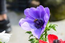Anemone Chinensis Poppy Anemo...