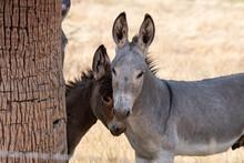 Wild Donkeys In The Arizona Desert