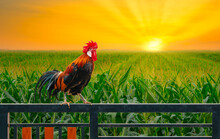 One Rooster On House Fence Wit...
