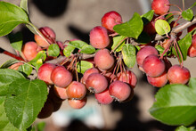 Fruits Of A Red Sentinel Apple Tree, A Ornamental Apple Also Called Ruber Custos, Christmas Apple Or Zierapfel