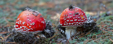Closeup Pair Of Fly Agaric Mushroom In A Forest, Natural Background