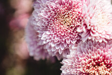 The Autumn Flowers, Chrysanthe...
