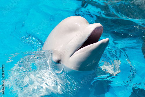 Friendly beluga whale or white whale in water Wallpaper Mural