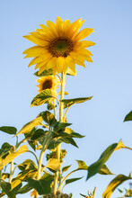 Tall Sunflowers Against The Blue Sky In Germany.