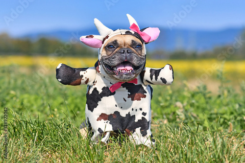 Fotografie, Obraz Happy French Bulldog dog wearing a funny full body Halloween cow costume with fa