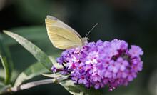 Yellow Butterfly On Purple Flower