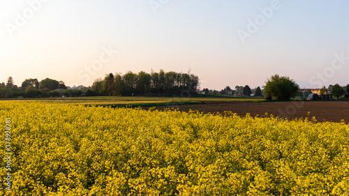 Fototapeta campo di colza fiorito obraz