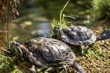 Red Eared Slider Turtle Trache...