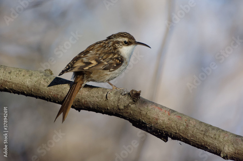 Fotomural Short-toed Treecreeper (Certhia brachydactyla) perched on a branch
